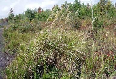 Blue Joint Reedgrass (Calamagrostis canadensis)