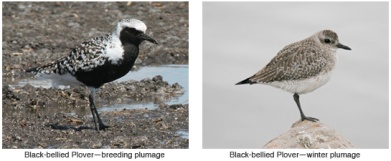 Black-bellied_Plover_combo