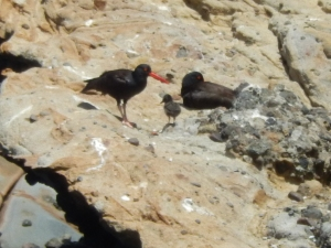 A pair of Black Oystercatchers from last season with their chick! Photo by Rick Hanks